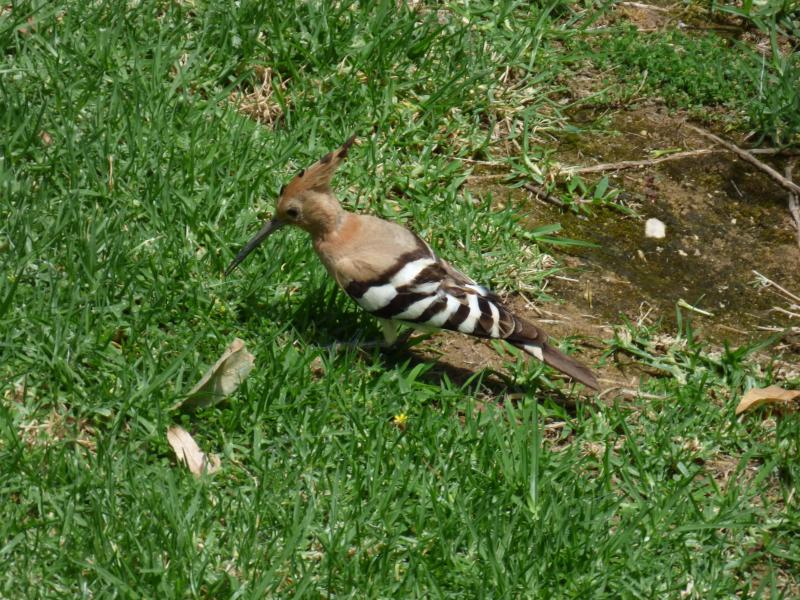 This Hoopoe ( snapped from the  window) is a regular visitor to the lawns around the apartment.