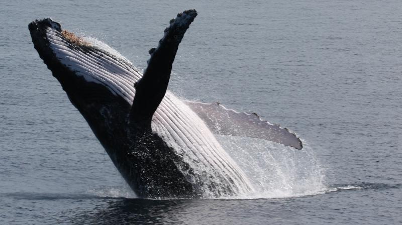 Whale watching - humpbacks and southern right whales