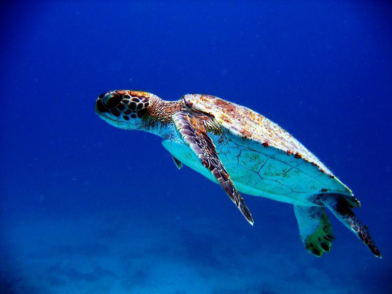 Diving with Turtules