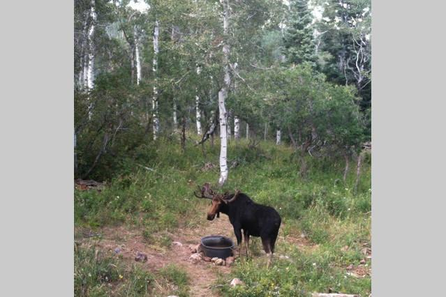 One of the moose visiting the cabins backyard