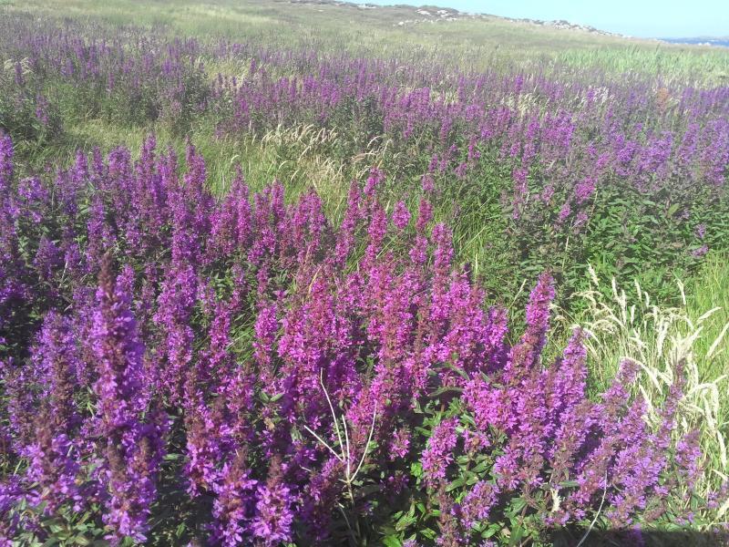Wild flowers of Owey Island
