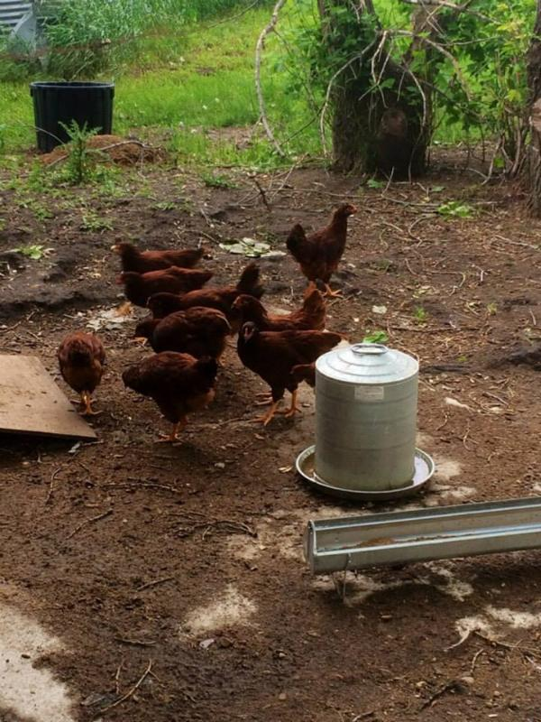 Get fresh eggs from chickens every morning, when available.