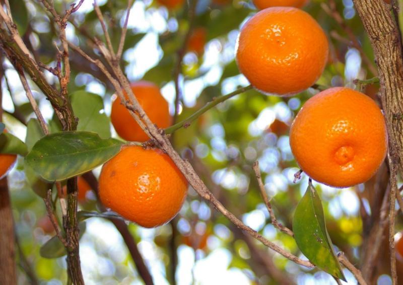 Se puede coger mandarinas en el jardin