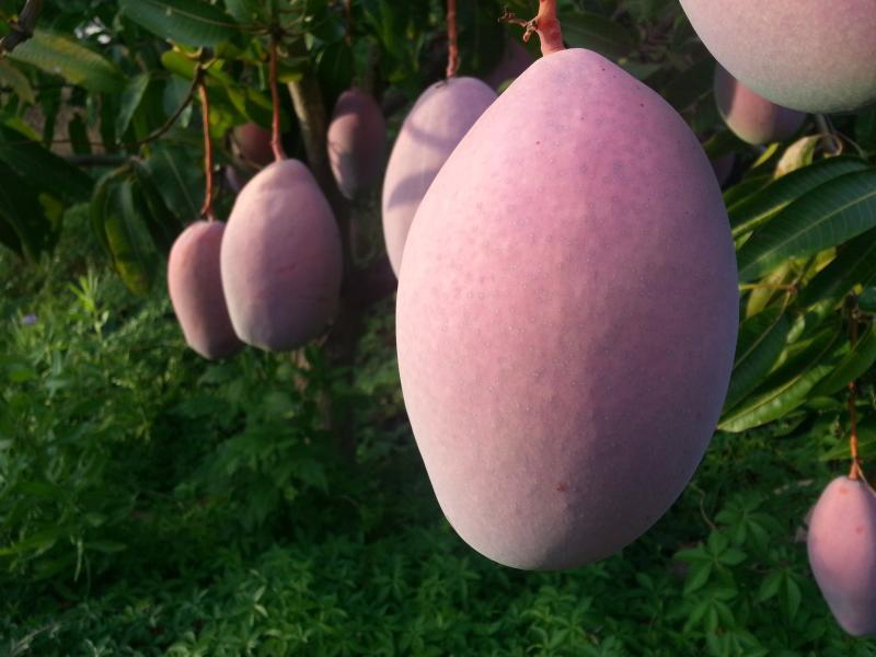 Se puede coger mangos en la huerta