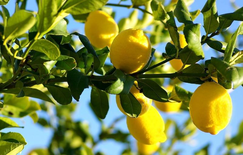 Se puede coger limones en el jardin