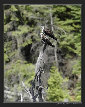 Young osprey's down at the south end of the lake.