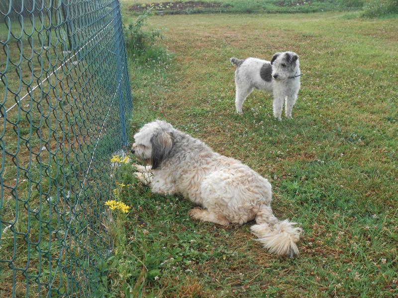 Nos chiens : Colie le berger au service sécurité et Milou le fox aux relations publiques