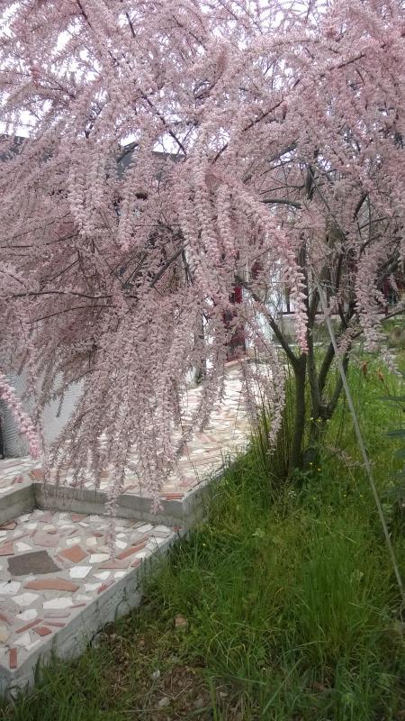 una delle tamerici con  i suoi fiori rosa