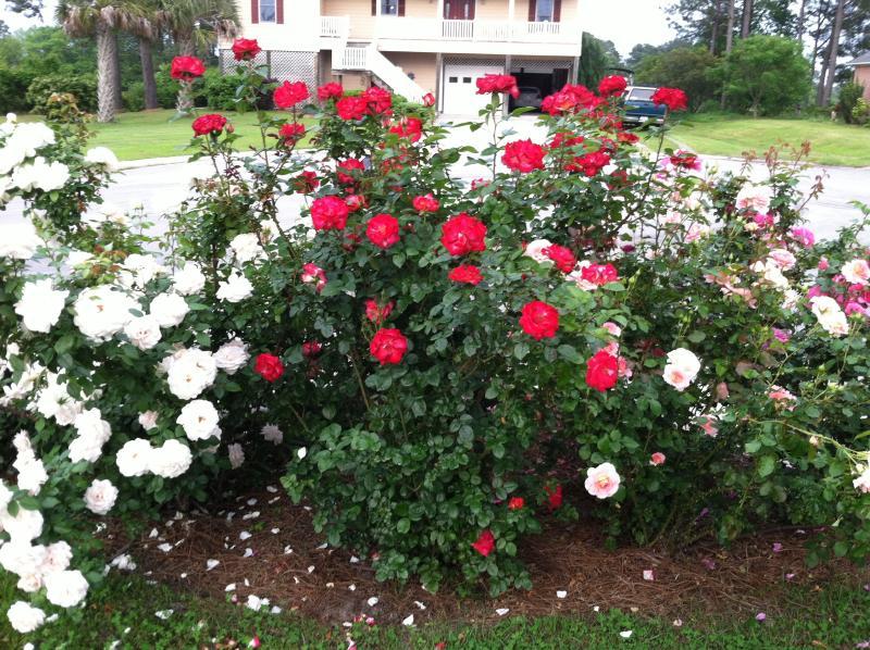 Si vous aimez les roses et les jardins, vous aimez le mien. Prenez le temps de flâner.