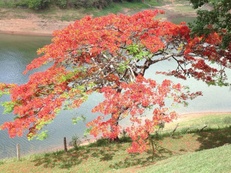 Flamboyant Vermelho em frente a casa principal com a represa no fundo!