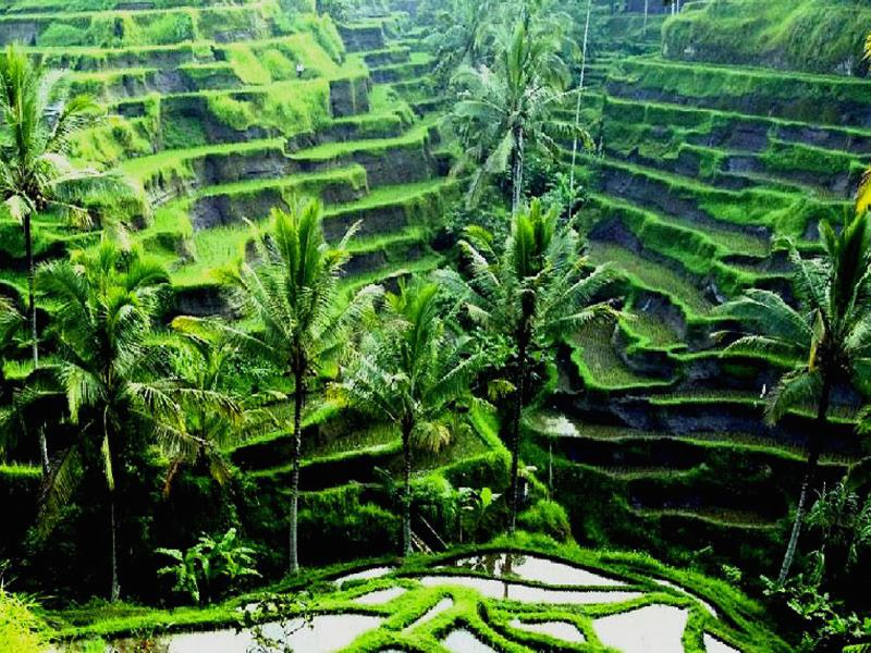 Stunning rice fields in Ubud a great day trip from Seminyak