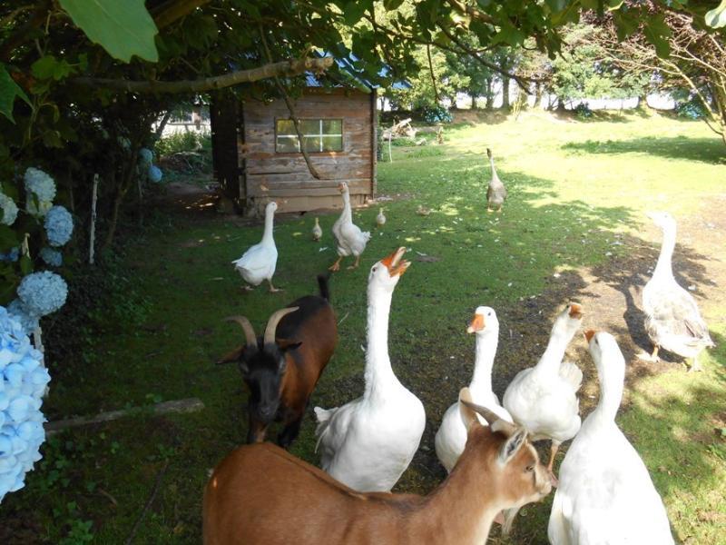 the farmyard animals