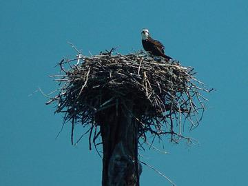 Osprey on its nest...north end of Norcan Lake.