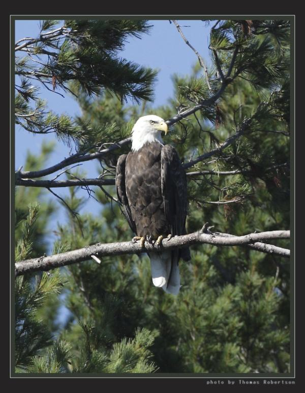 Bald eagle watching for a meal.