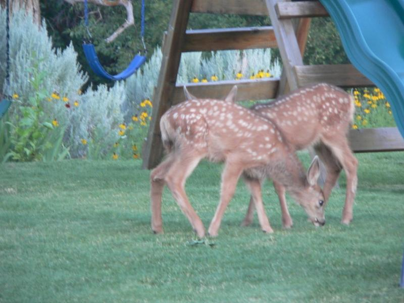 Fawns on the playground