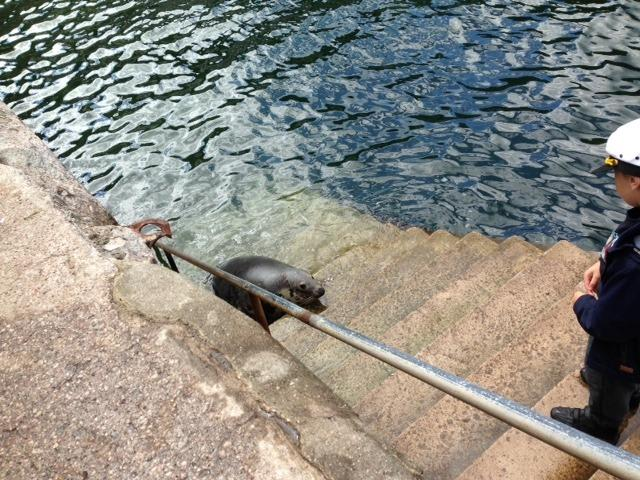 Sammy the seal - a frequent visitor to Babbacombe Bay