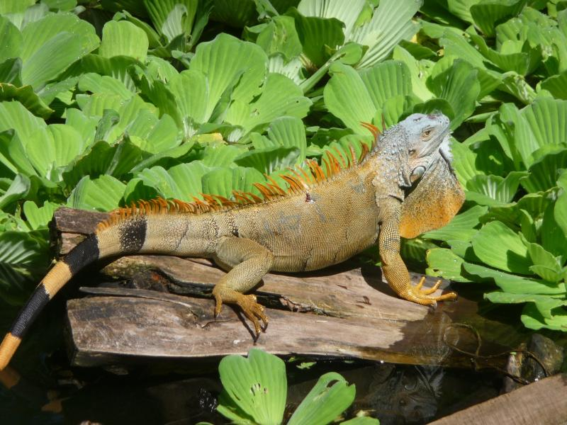 green iguana in fish pond