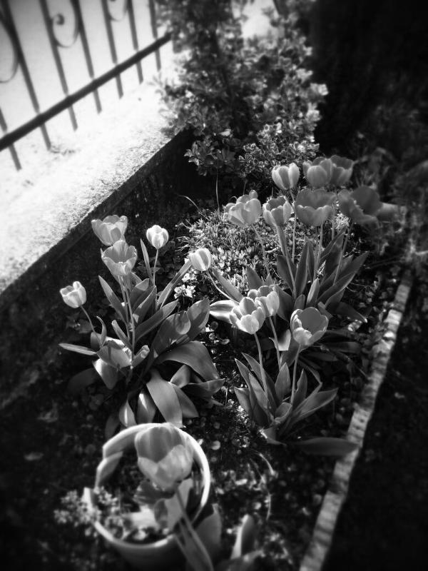 Tulips in spring. Tulipani in primavera