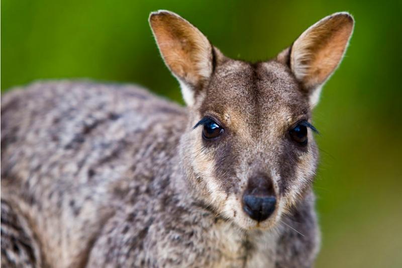 U bent uitgenodigd op onze ochtend Wallaby lopen gratis in het Hotel, waar u Wallabies zien zult!