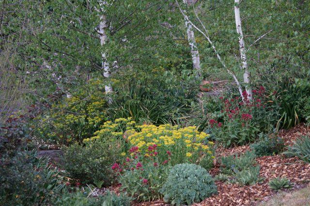 Birches in the garden.