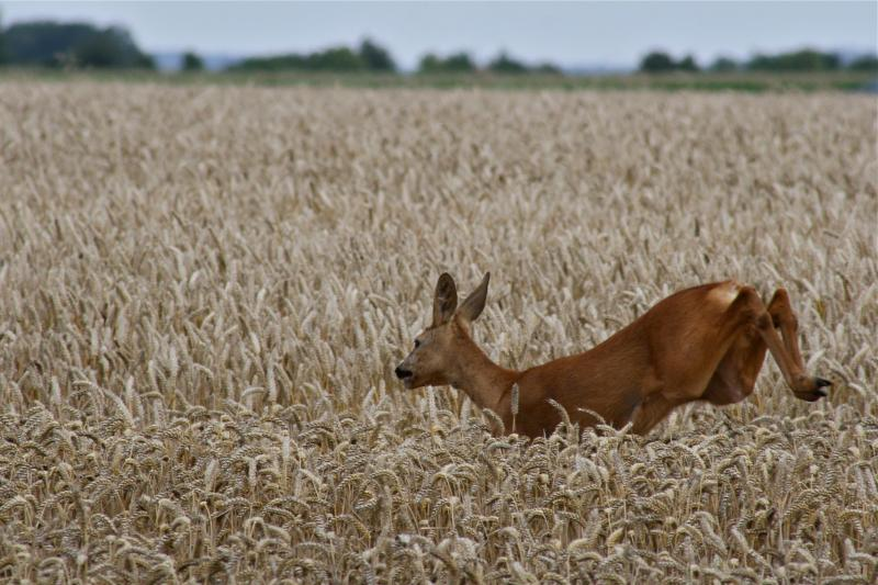 Deer in the fields