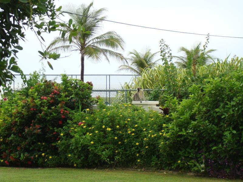 Barbados grön apa