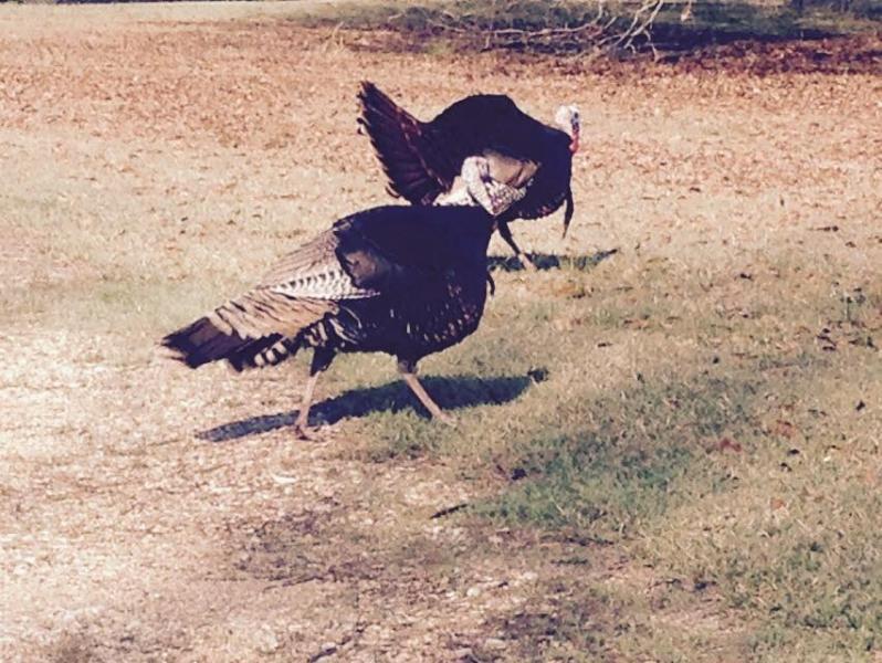 Turkeys at Little River Bluffs Front Gate