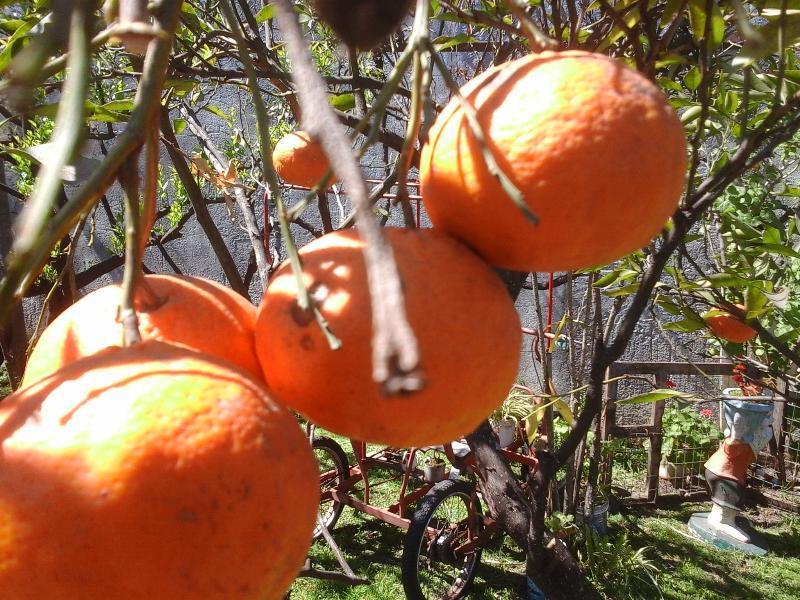 Our orange's trees