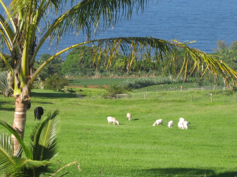 Sheep in pasture with ocena view