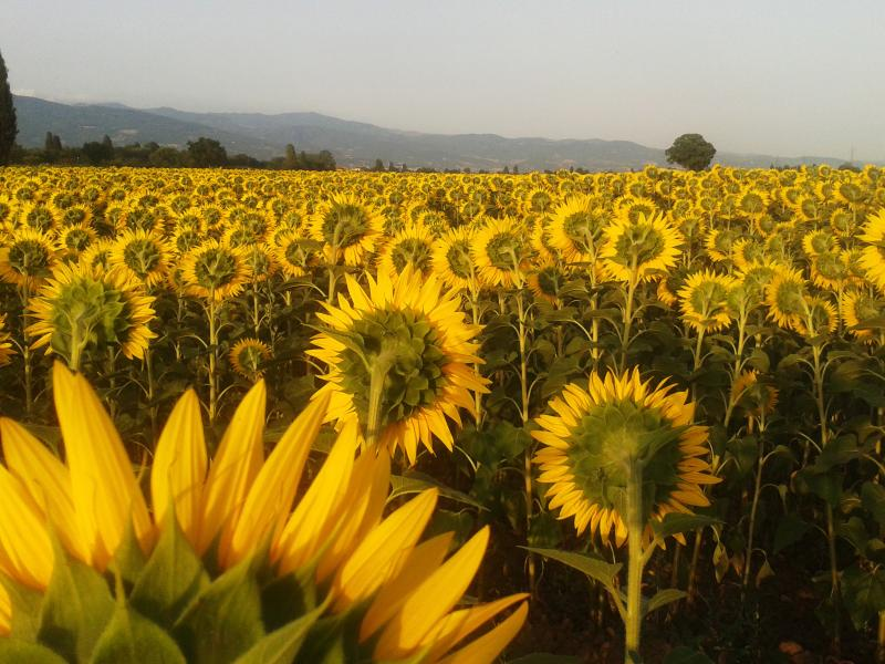 Sunflower fields of Valtiberina