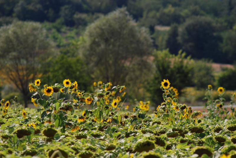 Sunflower fields Sovara Valley