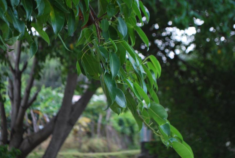 Manchineel trees are most common around the beaches and coastlines. Do not touch, very poisonous.