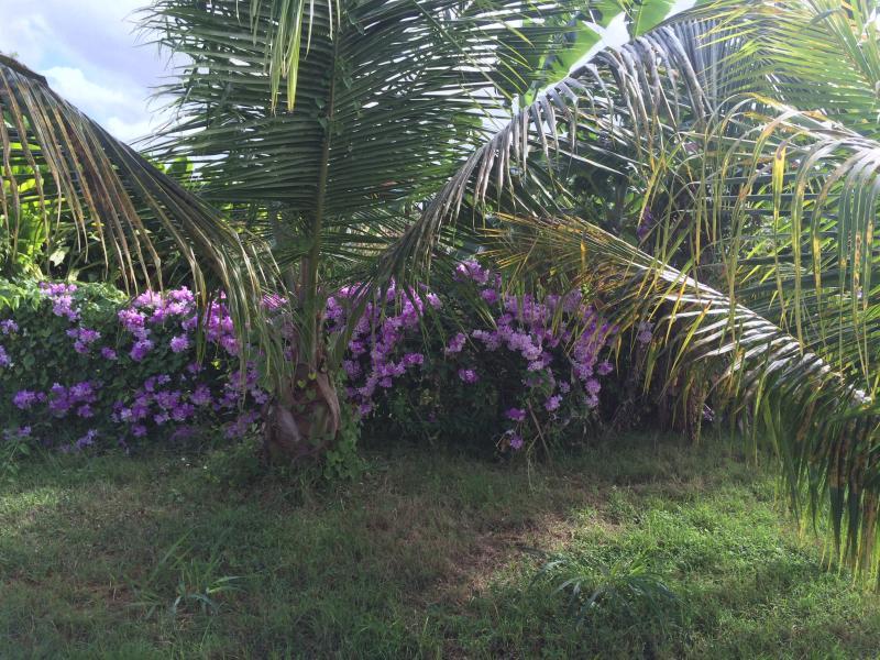 vue cocotier dans jardin