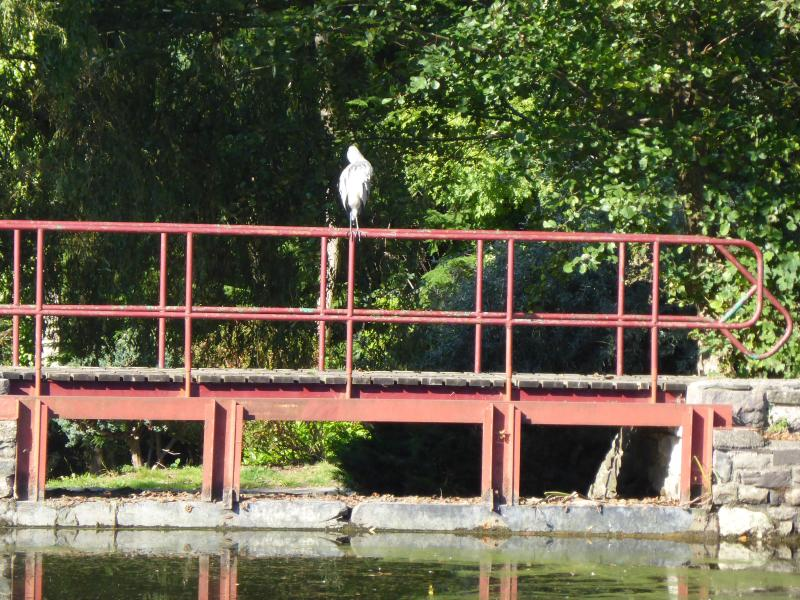Mr Heron waiting to catch his meal