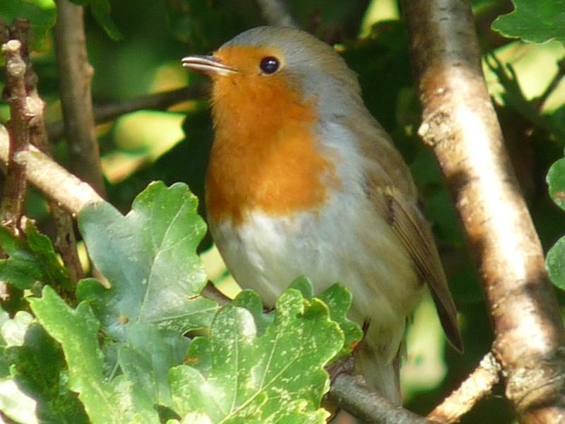 Uno de los robins de agradable en el jardín