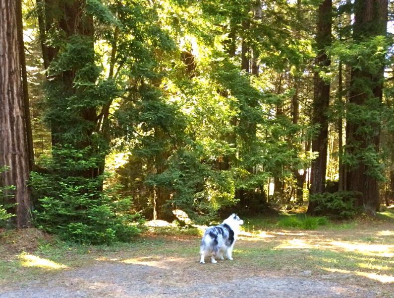 Pets are happy and safe exploring the fully-fenced acre ringed with redwoods.