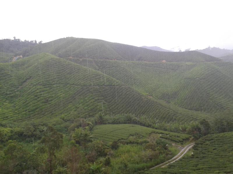 Tea Plantation Located 3 km away from the apartment