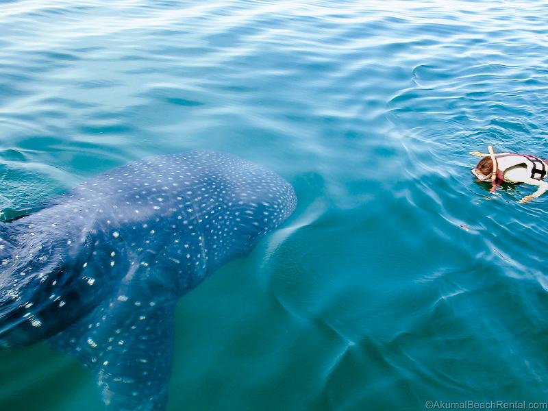 Take a day trip to swim with 35 foot whalesharks!