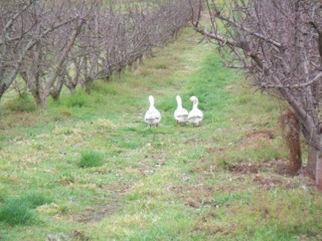 geese in the winter orchard