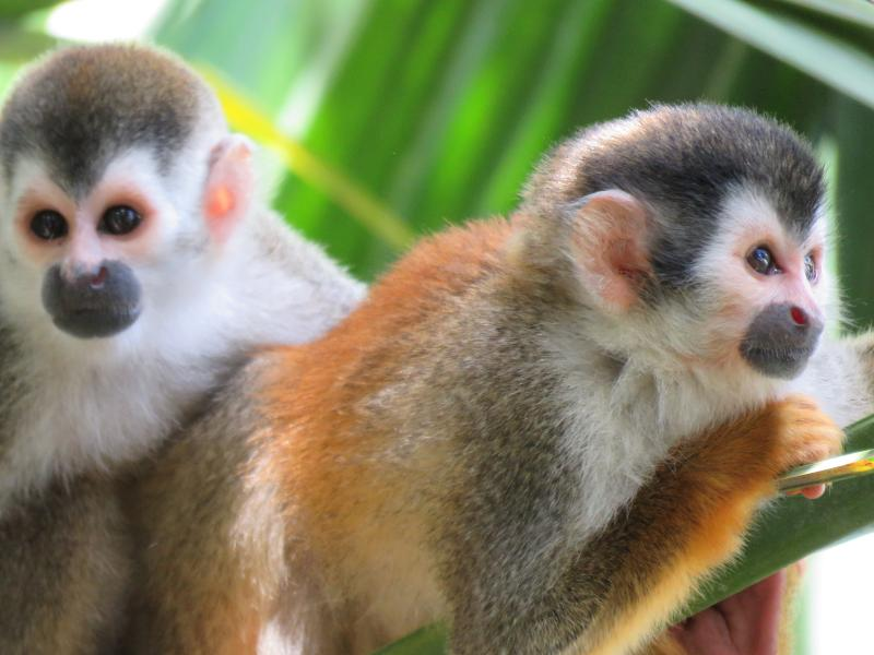 My favorite pic we have taken of the Titi Monkeys in the palm trees outside our window