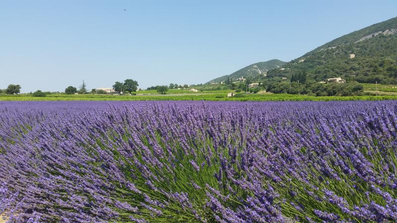 Lavender fields surround the village.
