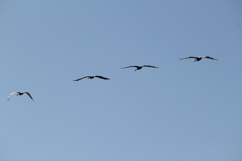 California Brown Pelicans regulary pass by on their way to Anancapa and Santa Cruz Islands to nest.
