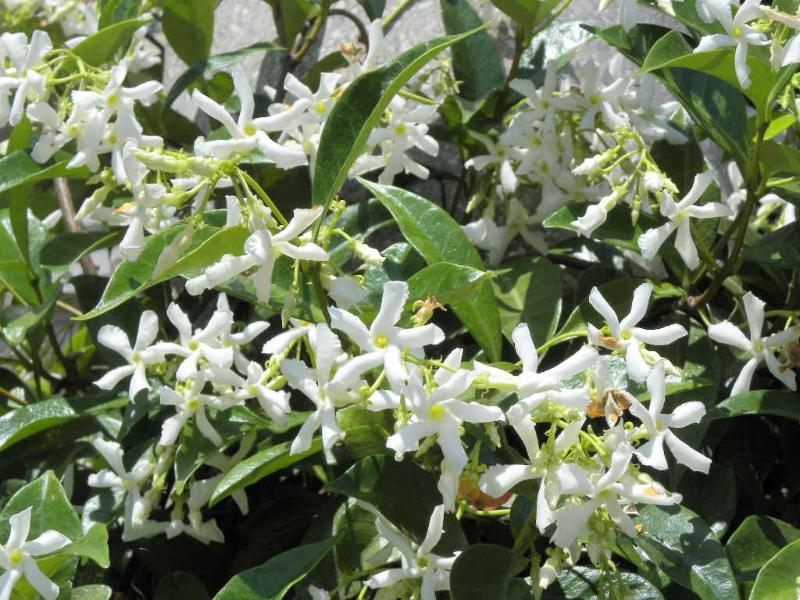 In the spring the flowers jasmine and the smell hangs in the whole area.