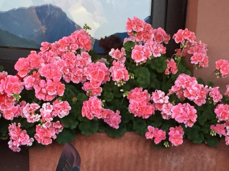And in the summer geraniums. ...