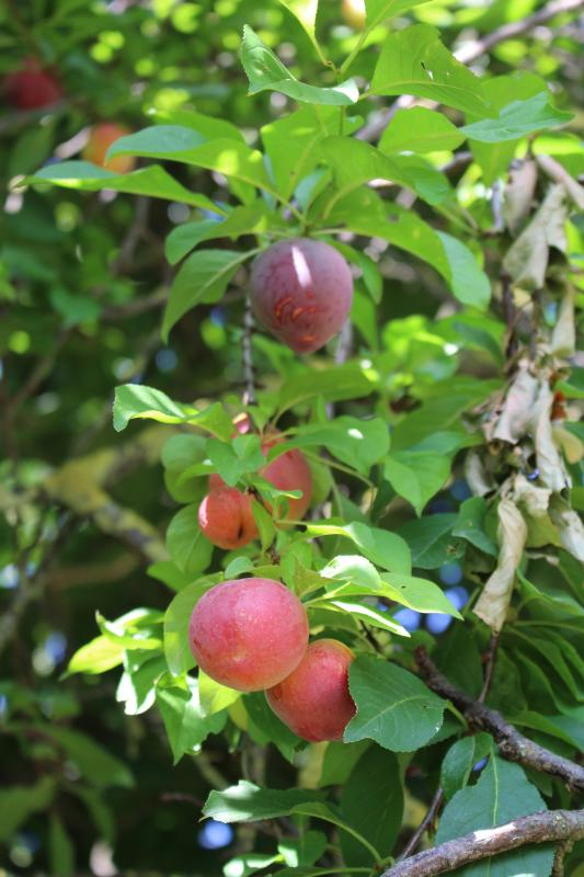 Fruit trees products at guests' disposal