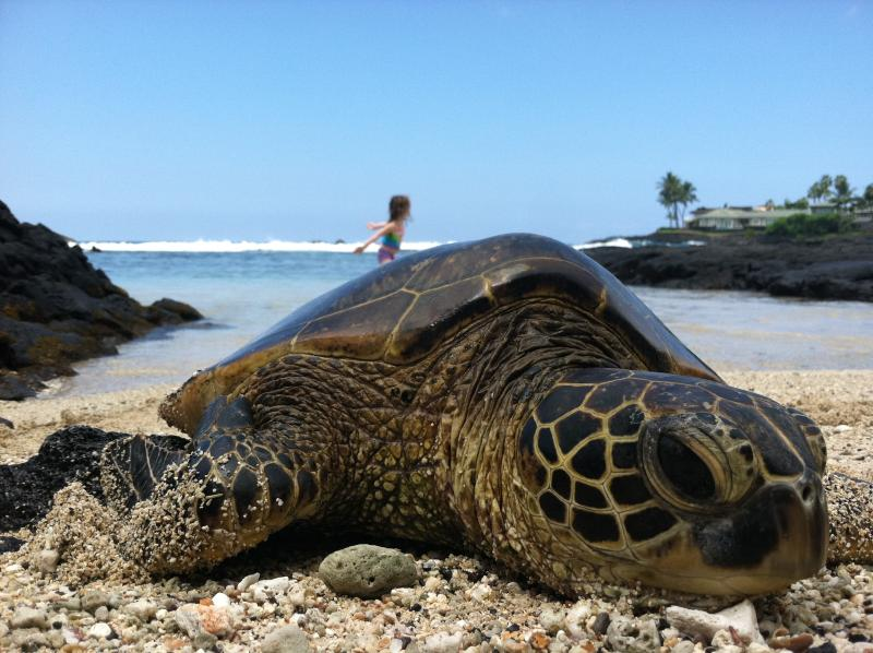 Resting green sea turtle (they are endanged - please don't touch)