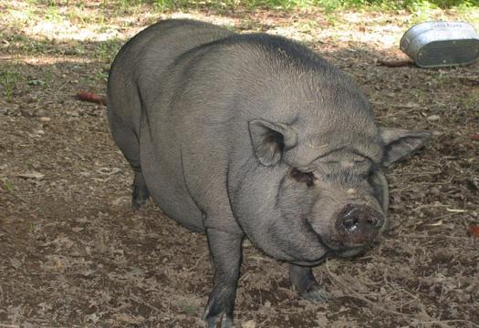 Big Pig at Licklog Hollow