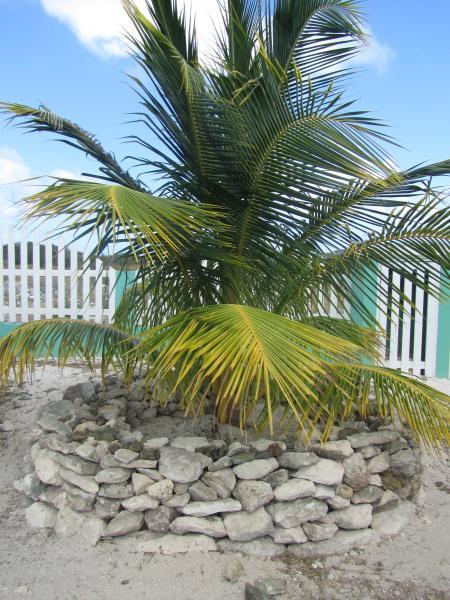 A coconut tree in the garden of Sea Grape Villas