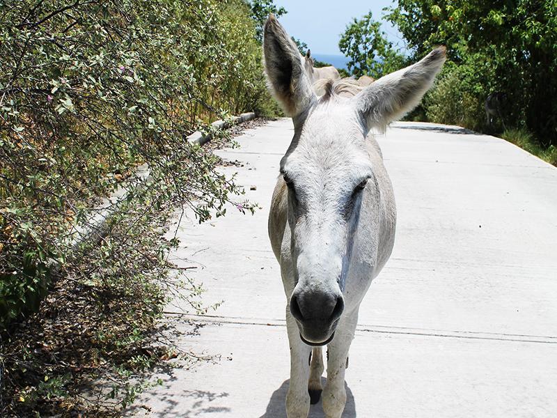 Give the right-of-way to neighborhood donkeys