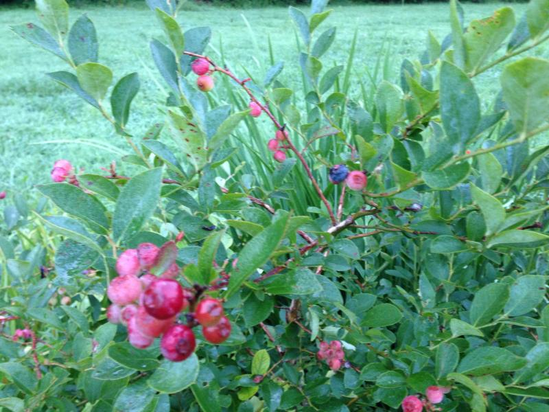 Blueberries and raspberries can be picked in the summer months.